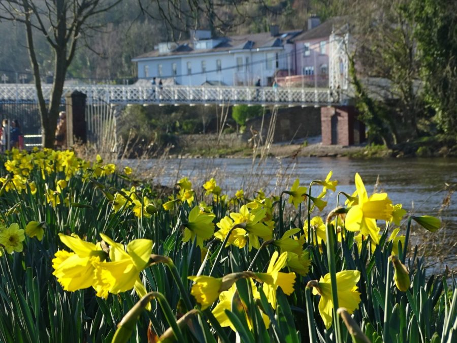 Daffodils at Fitzgerald's Park with Daly's Bridge in the background, Cork, 28 February 2021 (picture: Cllr Kieran McCarthy)